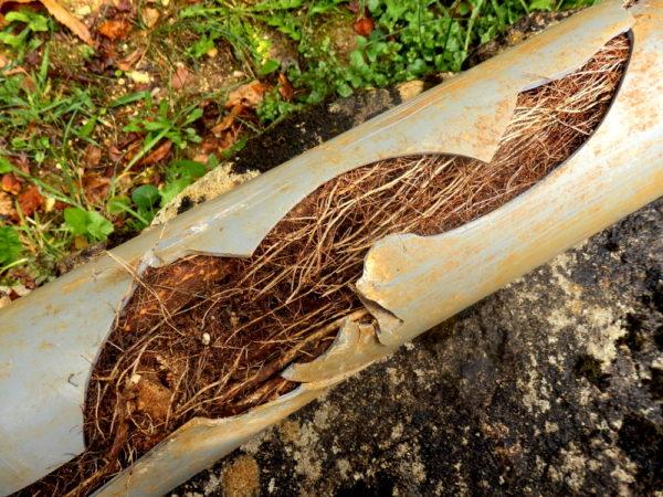 Tree Root Damage Plumbing